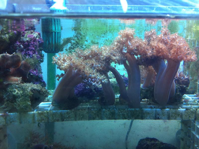 Capnella imbricata (Kenya Tree Coral) 2011_%2525208_16_15_27