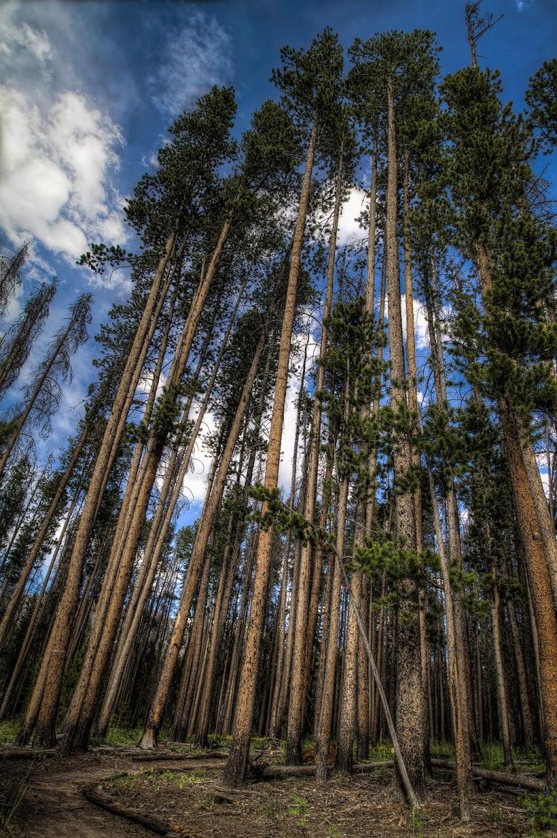 Tall pine trees