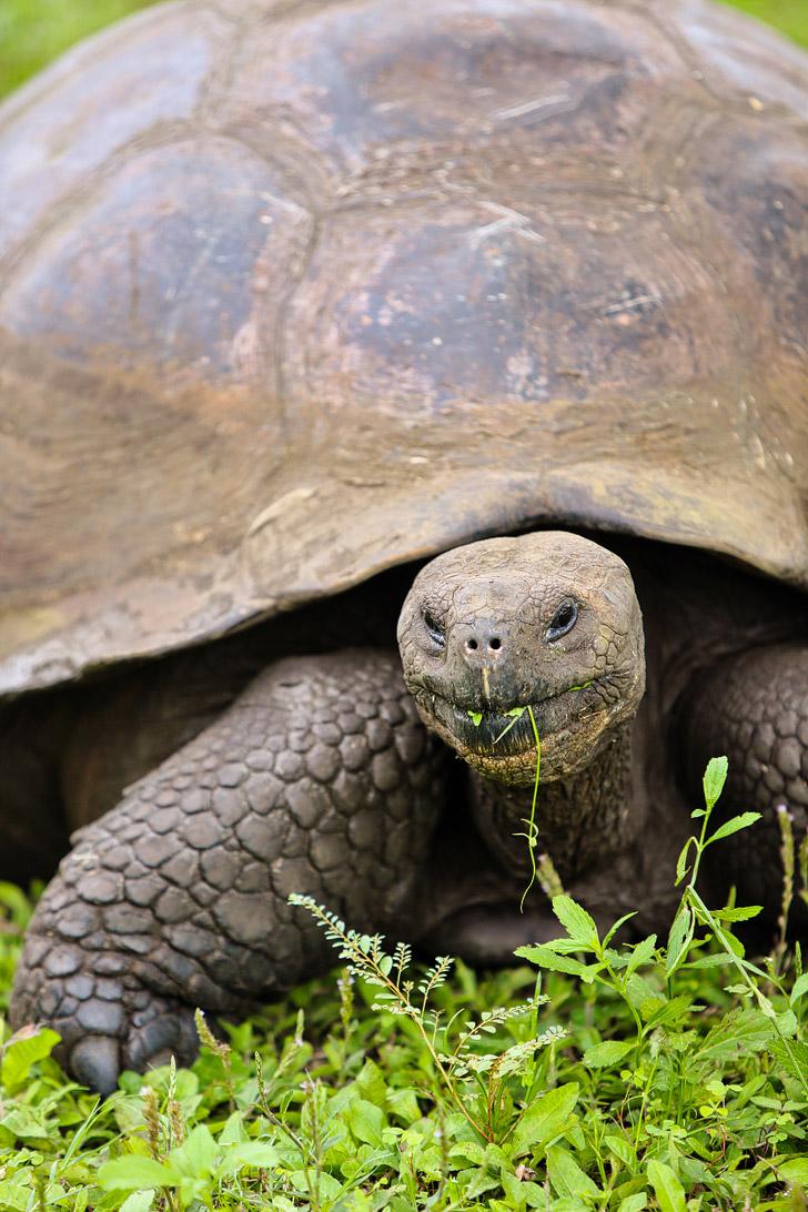 The Galapagos Tortoise - Galapagos Animals.