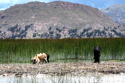 Animals foraging on the islands in Lake Titicaca near Puno Peru