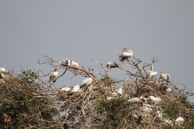Pelicans in abundance at Ranganathitu Bird Sanctuary