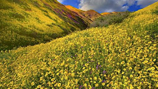 Flowers, Carrizo Plain National Monument, California.jpg