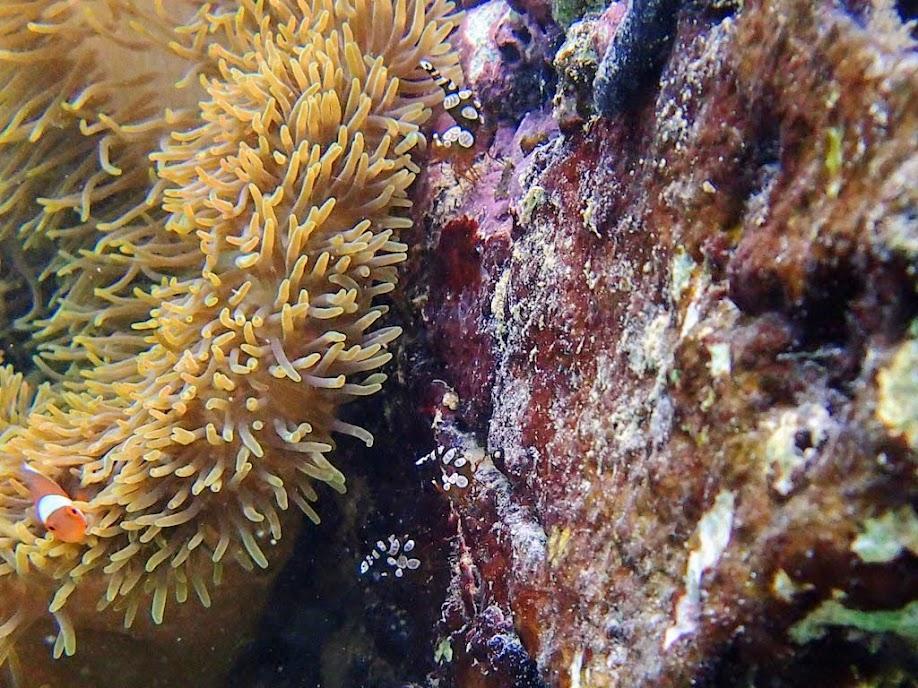 Thor amboinensis (Sexy Shrimp), Miniloc Island Resort reef, Palawan, Philippines.