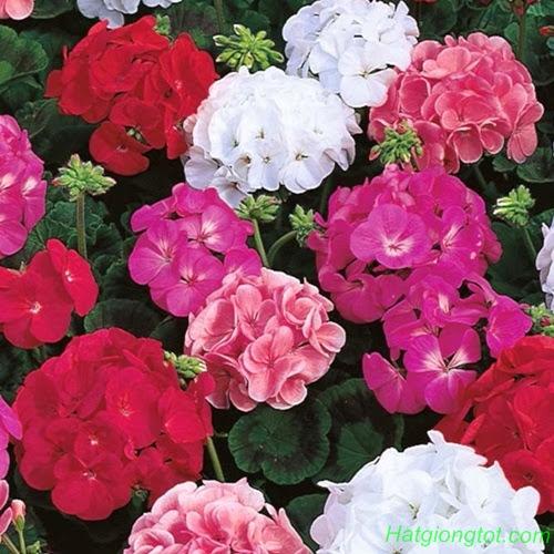 Hoa phong lữ thảo đẹp