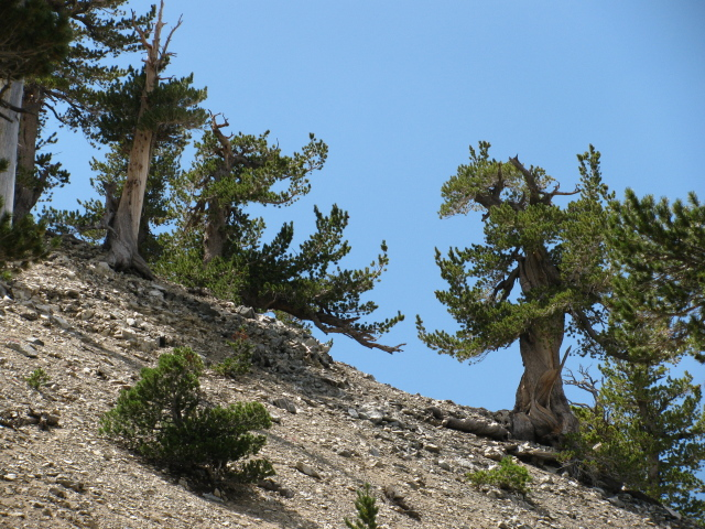 stocky, twisted pine trees
