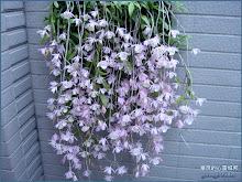 從牆上傾鴻瀉下的天宮石斛蘭(瀑布蘭)Dendrobium aphyllum