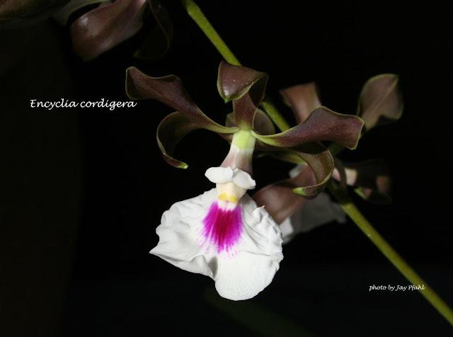 Растения из Тюмени. Краткий обзор - Страница 4 Encycordigera