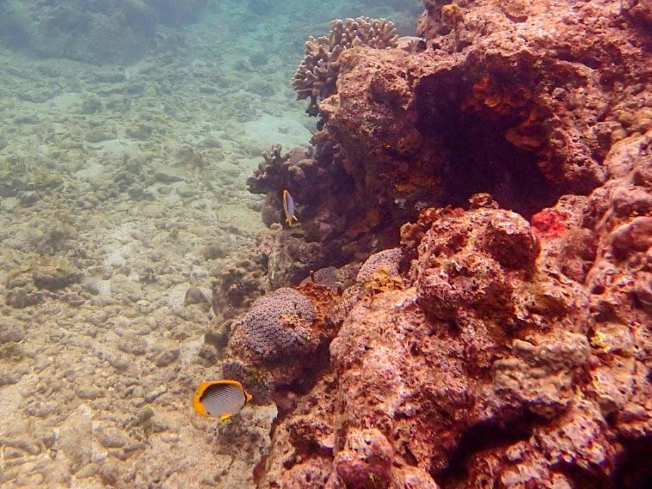 Chaetodon melannotus (Blackback Butterflyfish), El Nido, Palawan, Philippines.