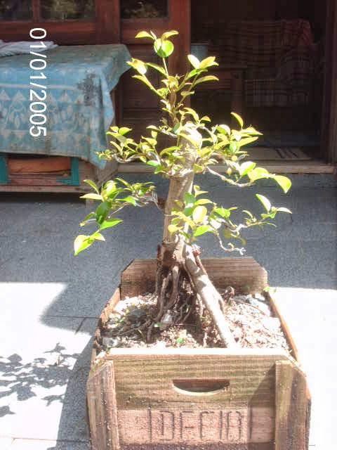 Ficus Microcarpa var. Indica... PICT2536