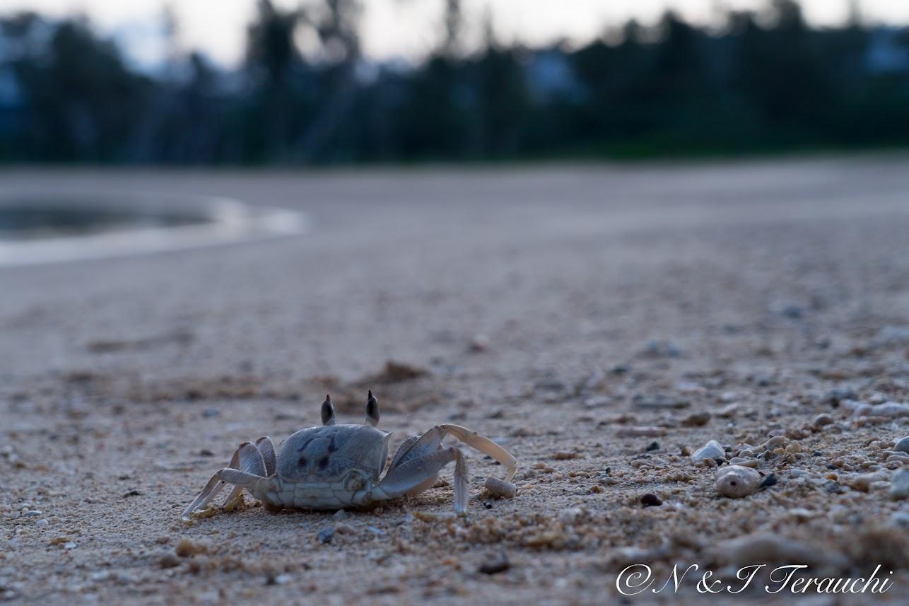 浜辺をお散歩中のカニさん