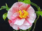淡桃色地 紅色縦〜小絞り 一重 盃状咲き 筒しべ 中輪
