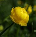 Trollius europaeus, Купальница европейская, flora, photo, photography, флора, фото,