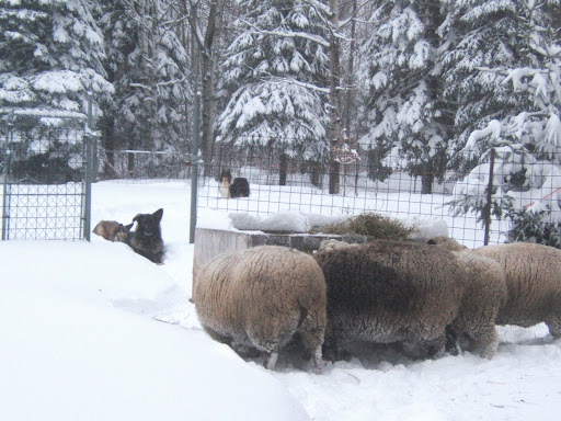 sheep herding  ckc  when