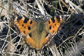 Para ampliar Nymphalis polychloros (Mariposa olmera) hacer clic