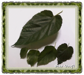 Folhas de amora