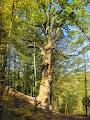 В каждом селе есть дуб Т.Шевченка