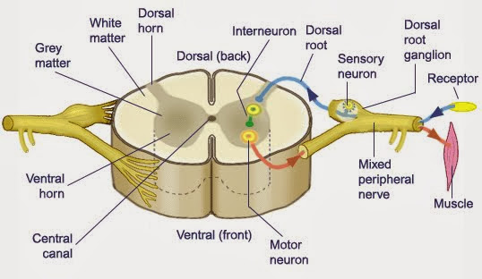 Somatic nervous system  Wikipedia