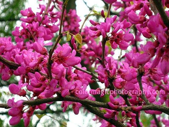 Eastern Redbud flowering-Cercis canadensis