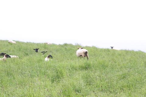 焼尻島の風景 その5 めん羊放し飼い