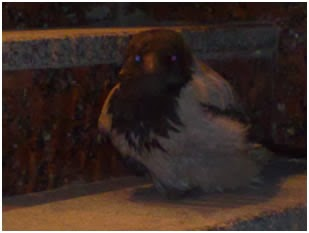 Одна хитрая воронежская ворона зачем-то ходит по ночам к банкомату 2