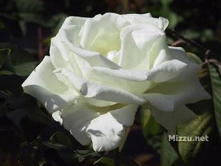 mawar putih