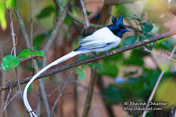 Asian Paradise Flycatcher with its long tail twisted