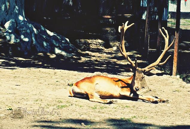 cerb zoo radauti