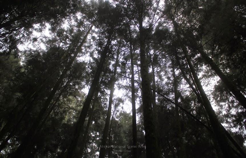 嘉義阿里山巨木群棧道-3