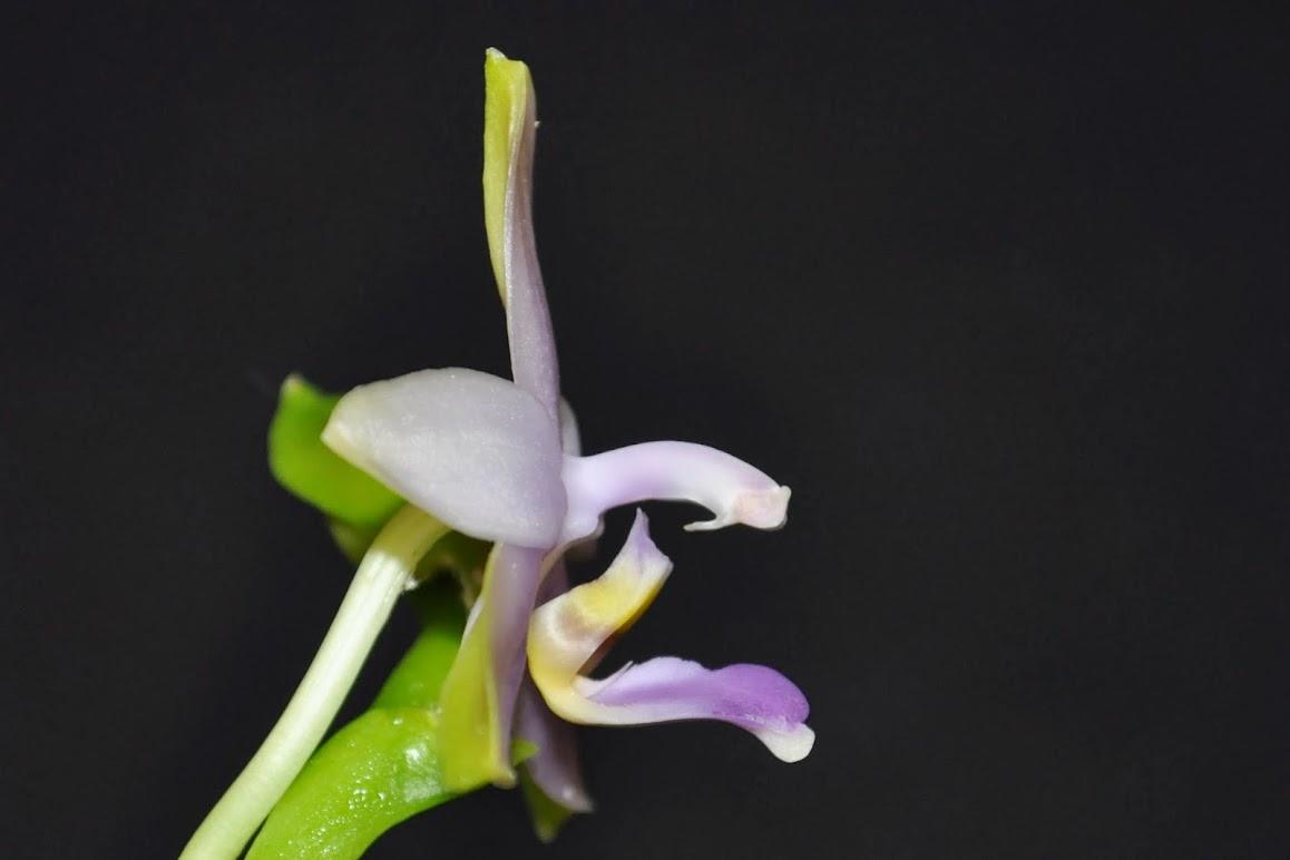 Phalaenopsis violacea 'Malaysian Blue' CSC_0051