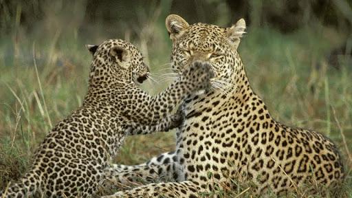 Leopard Cub Testing Moms Patience, Masai Mara, Kenya.jpg