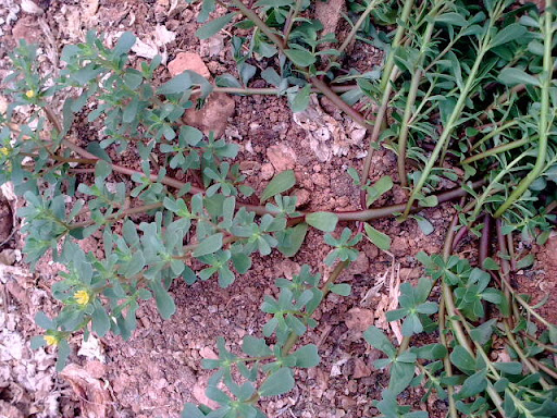semizotu bitki dalları