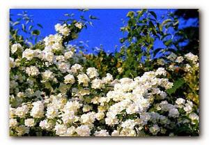 жасмина ароматные цветки