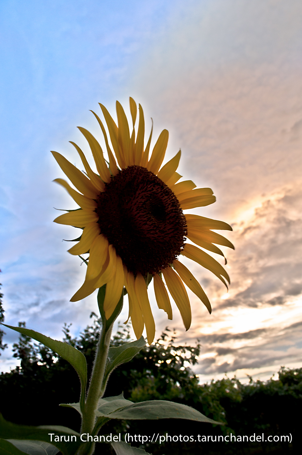 Sunflower Evening, Tarun Chandel Photoblog