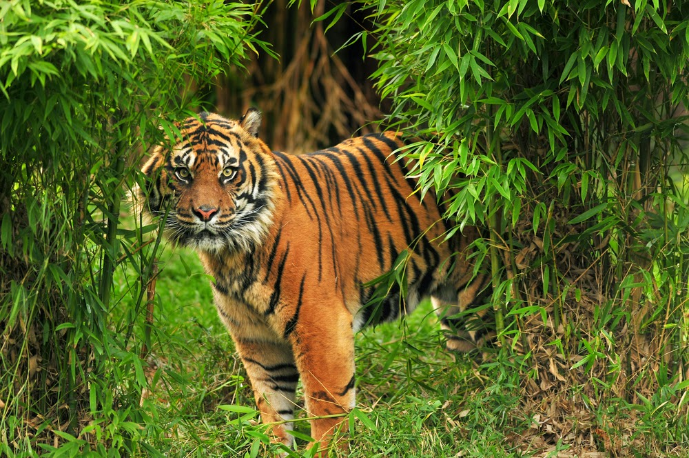 Bengal Tiger in Tiger reserve