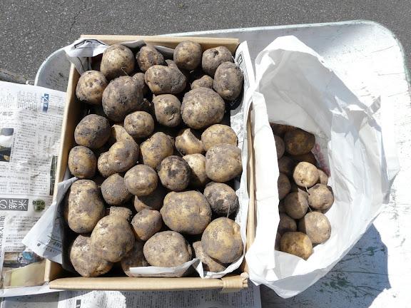 ジャガイモも沢山収穫出来ました