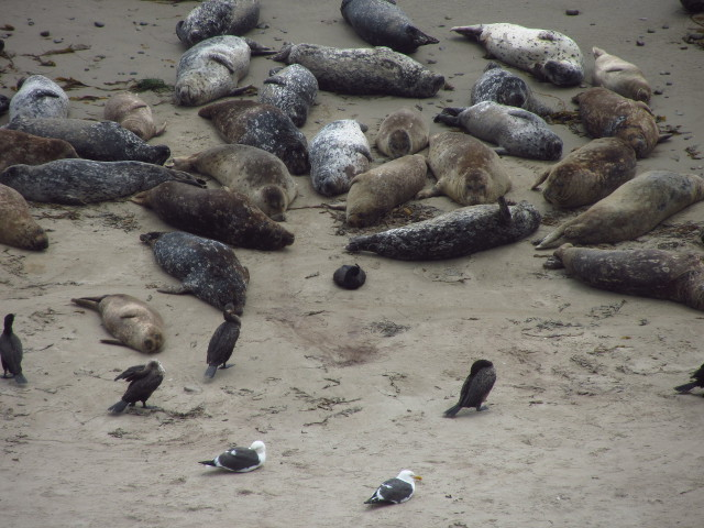 cormorants grooming and sleeping beside the seals