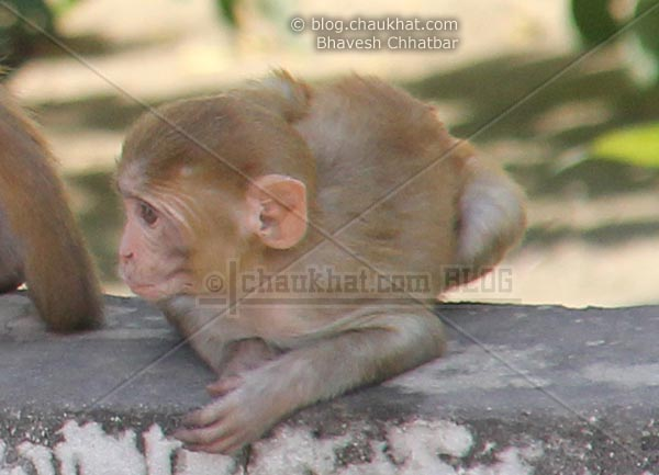 Monkeys of Jaipur - Baby monkey looking for something to catch