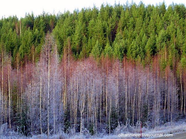 Очень забавная фотография с замерзшими березами при стоящих рядом совсем зеленых соснах и елях