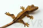 Rhizome - High percentage pinstripe crested gecko from http://moonvalleyreptiles.com
