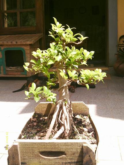 Ficus Microcarpa var. Indica... - Página 2 IMAG0035