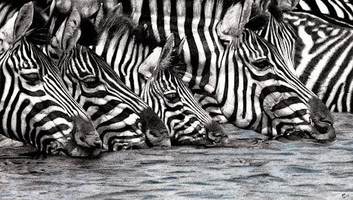 ZebrasConfusionofStripeslores-2014-12-27-10-38.jpg