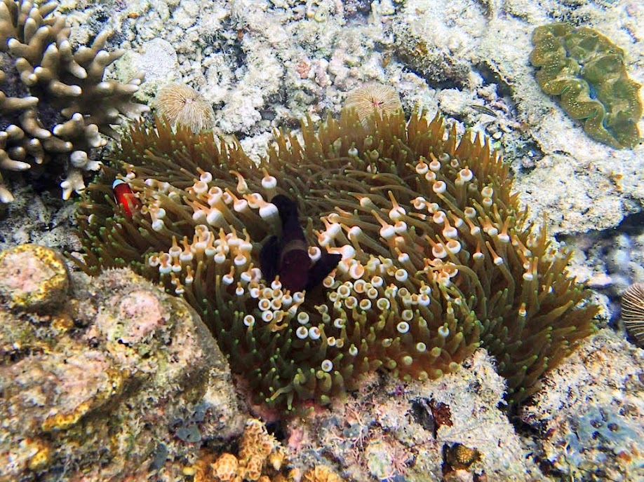 Premnas biaculeatus (Maroon Clownfish) with Entacmaea quadricolor (Bubble Anemone), Miniloc Island Resort reef, Palawan, Philippines.