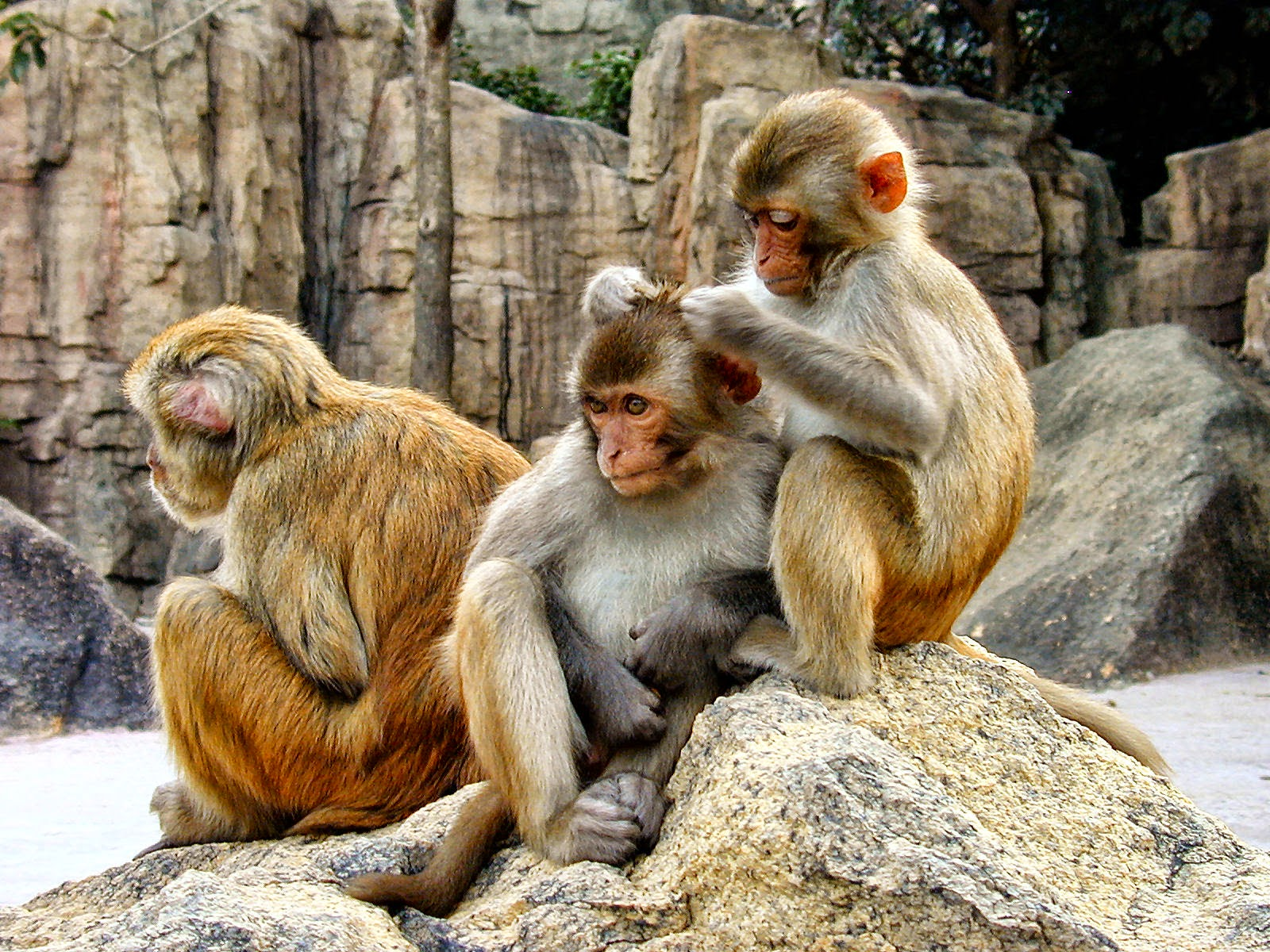 Image of Primates Being Used to Search Ebola Vaccine