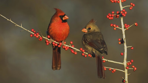 Northern Cardinals Eating Berries, Hill Country, Texas.jpg
