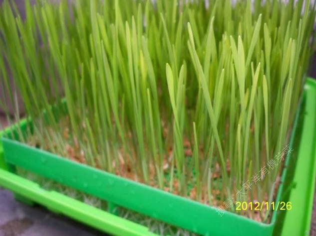 有機小麥草 有機貓草