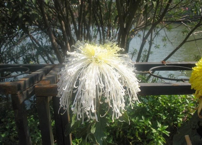 20x chrysanthemum morifolium chrysanthemen samen aus china 24 varianten ebay. Black Bedroom Furniture Sets. Home Design Ideas