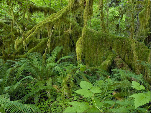 Hall of Mosses, Hoh Rain Forest, Olympic National Park, Washington.jpg