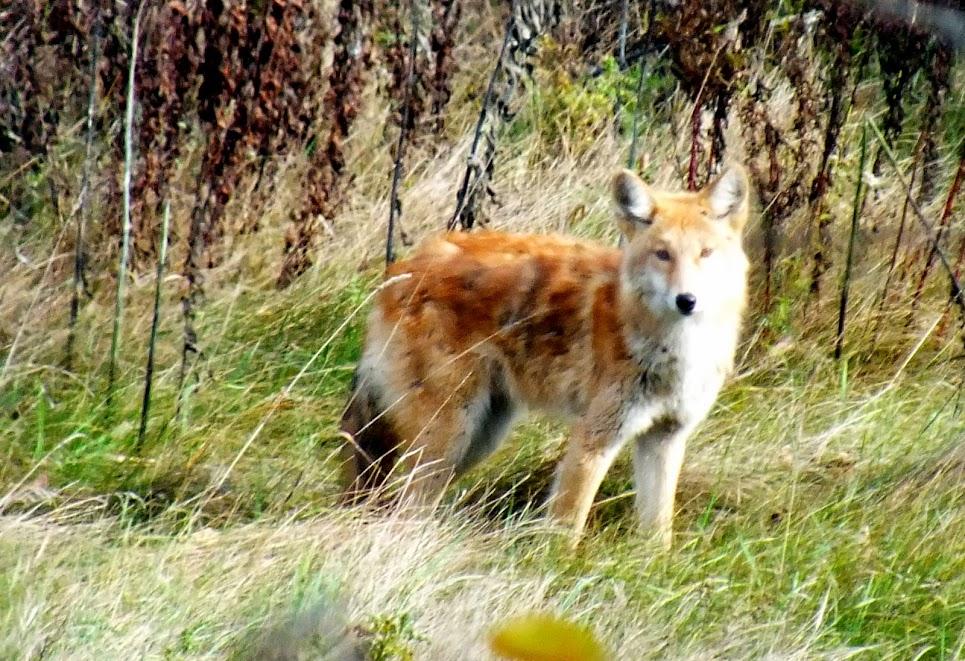 Coyote, chien-loup, chien-coyote ou loup? DSCF0367
