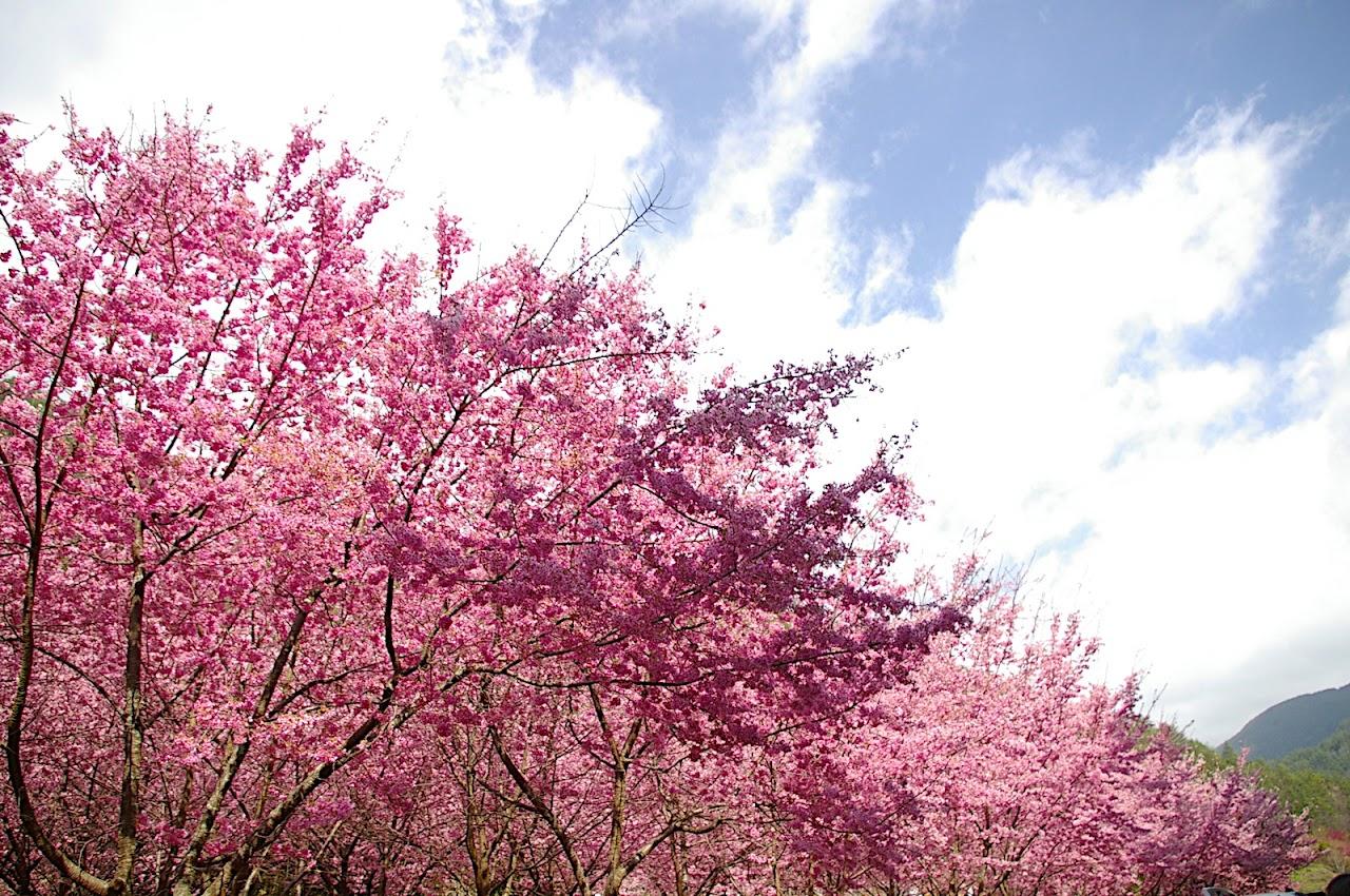武陵櫻花(數位版)