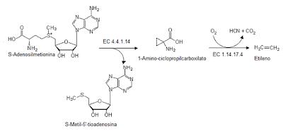 biosíntesis del etileno